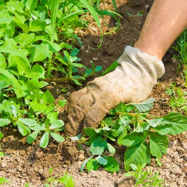 Someone maintaining a garden