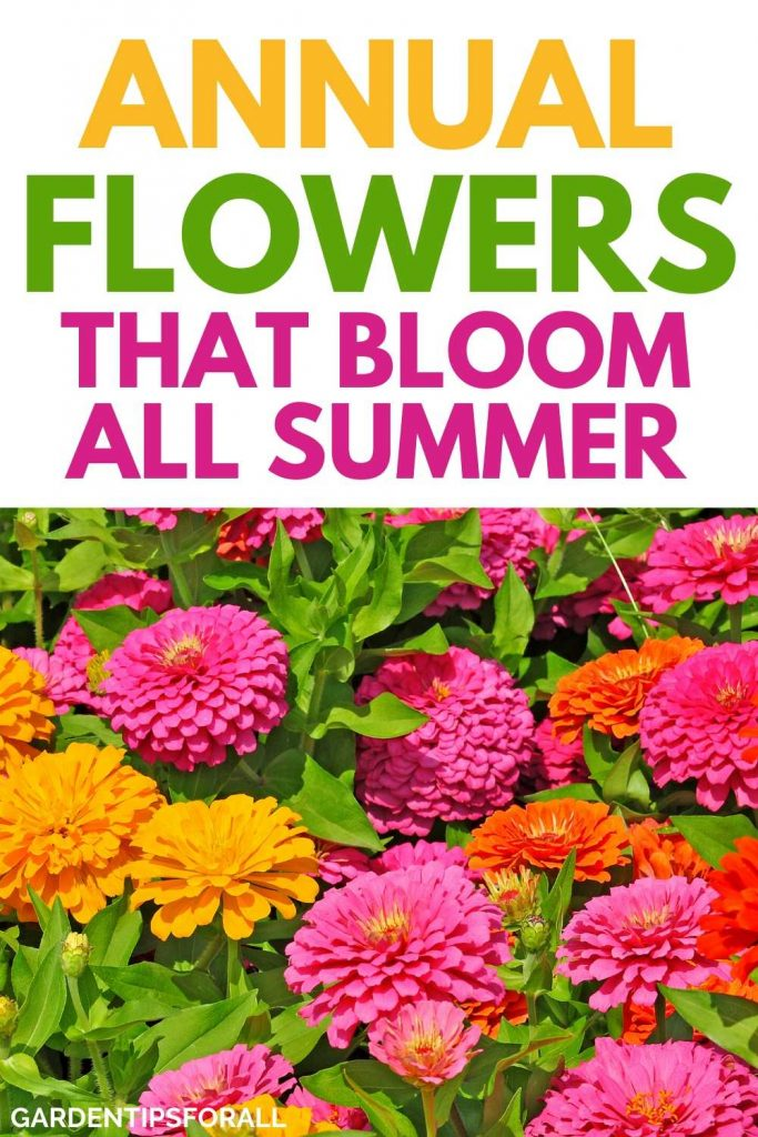 Annual flower plants that bloom all summer
