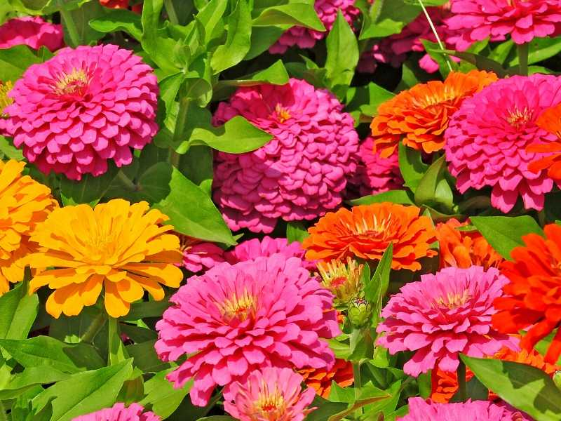 Annual flowers that bloom all summer
