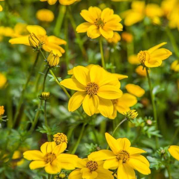 Bidens annual flower