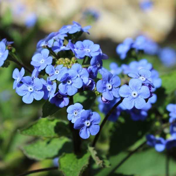 Brunnera is a low maintenance perennial for shade
