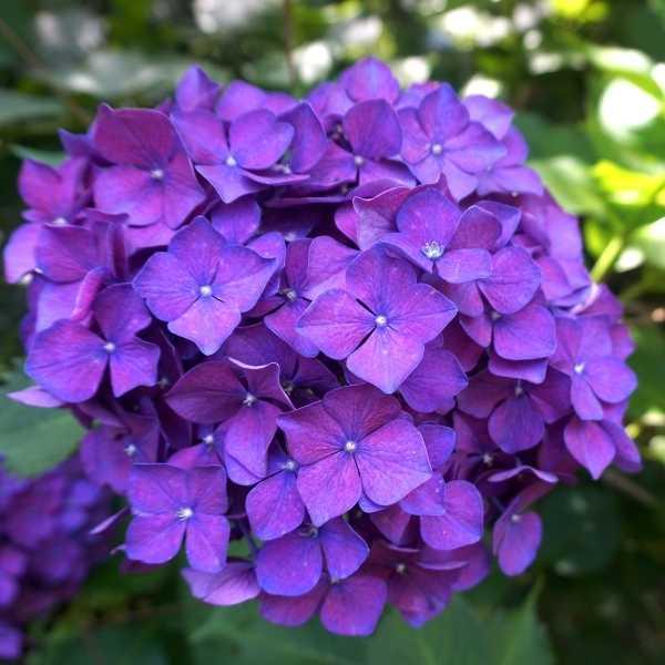 Change color hydrangea to purple
