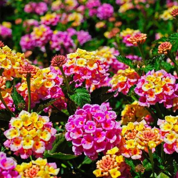 Lantana annual flower plant