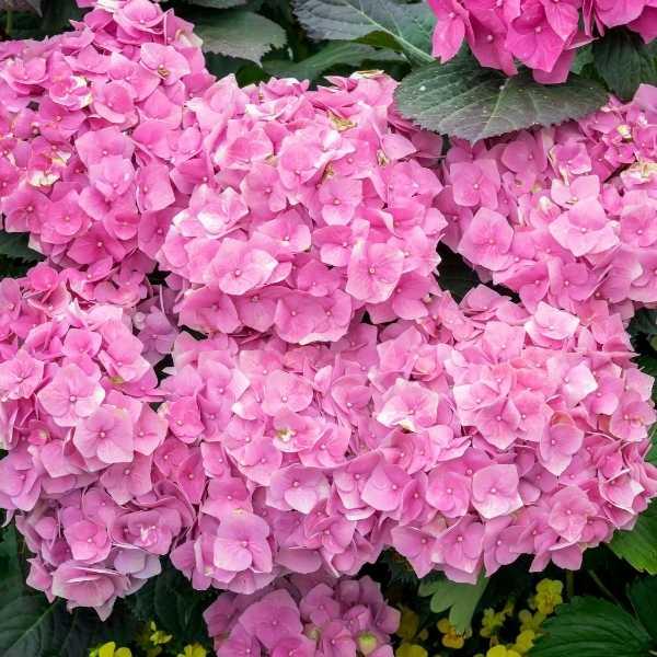 Make hydrangeas pink