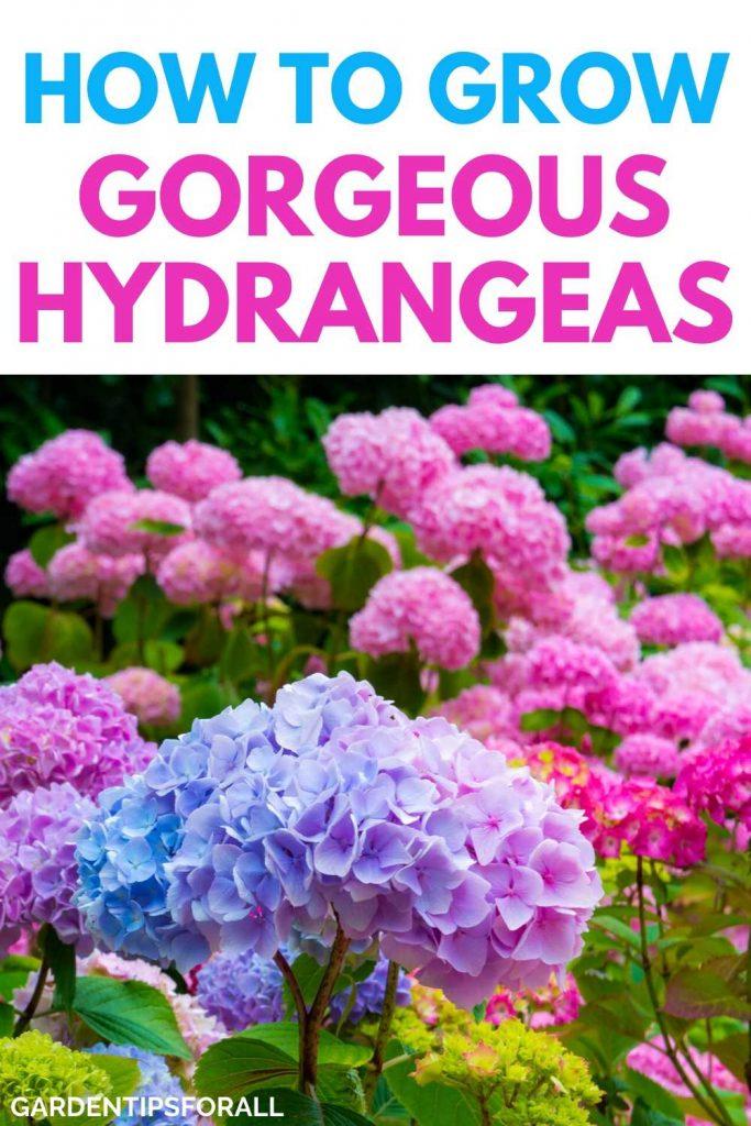 Tips on growing hydrangea flowers