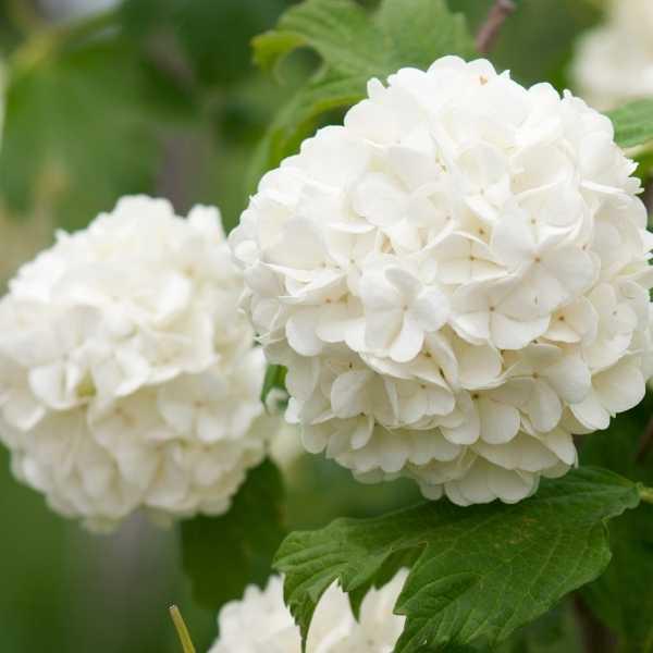 White hydrangea flower plant