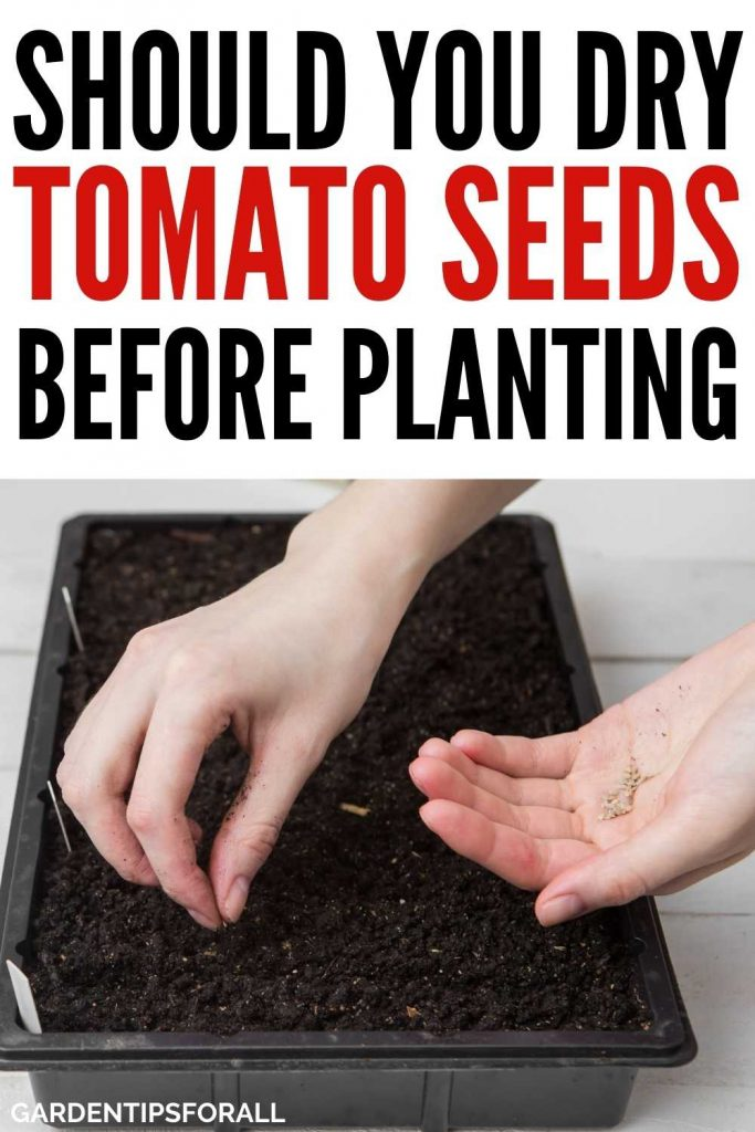 Do I need to dry tomato seeds before planting