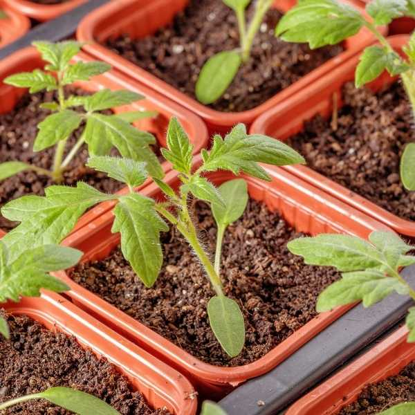 How to make tomato seeds grow faster