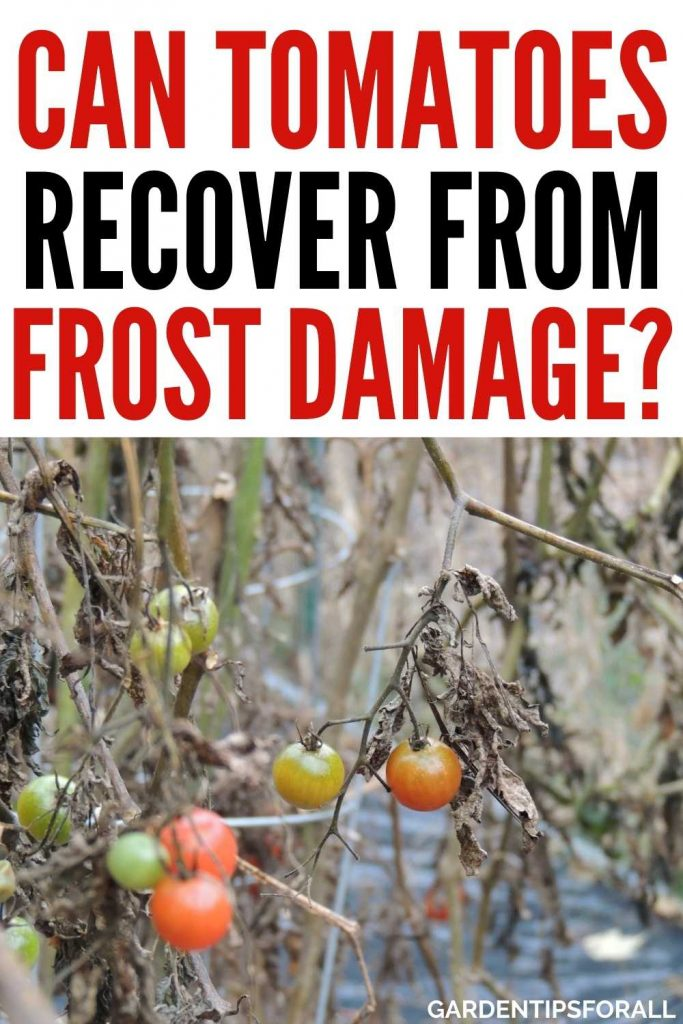 Can tomato plants recover from frost damage