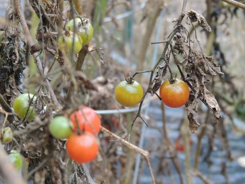 Can tomatoes recover from frost damage