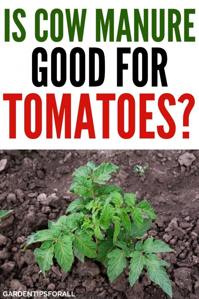 Cow manure good for tomatoes