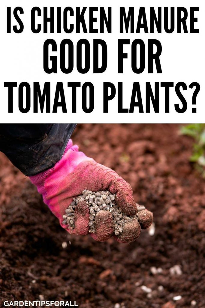 Is chicken manure good for tomato plants