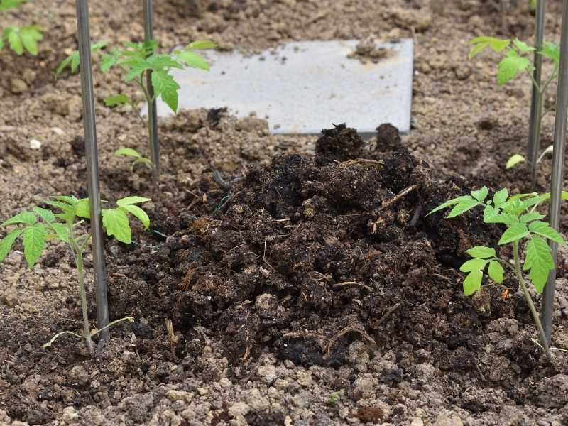 Is chicken manure good for tomatoes