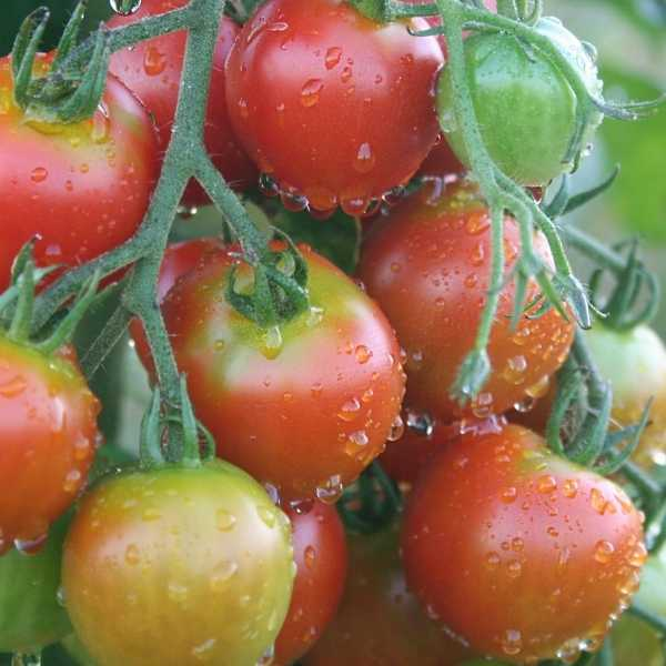 Protecting tomato plants from frost damage