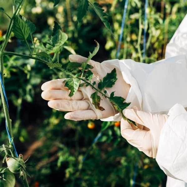 Pruning tomato leaves