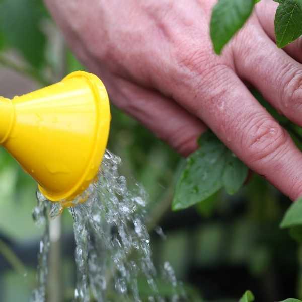Watering tomato seedlings