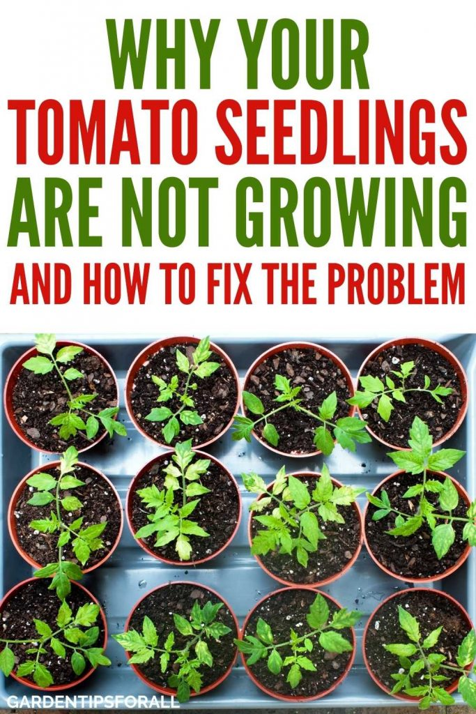 Why are my tomato plants not growing