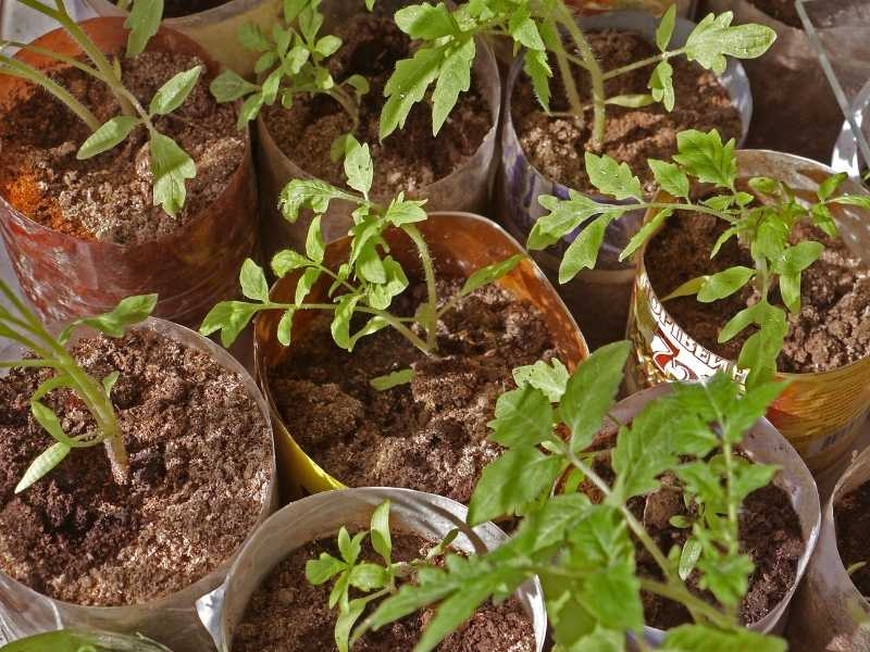 Why are my tomato seedlings not growing