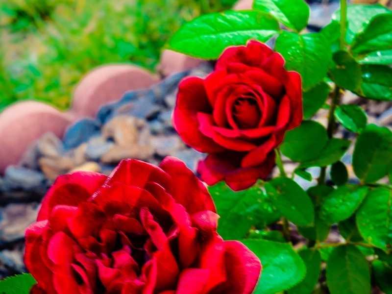 Can I use rose fertilizer on vegetables