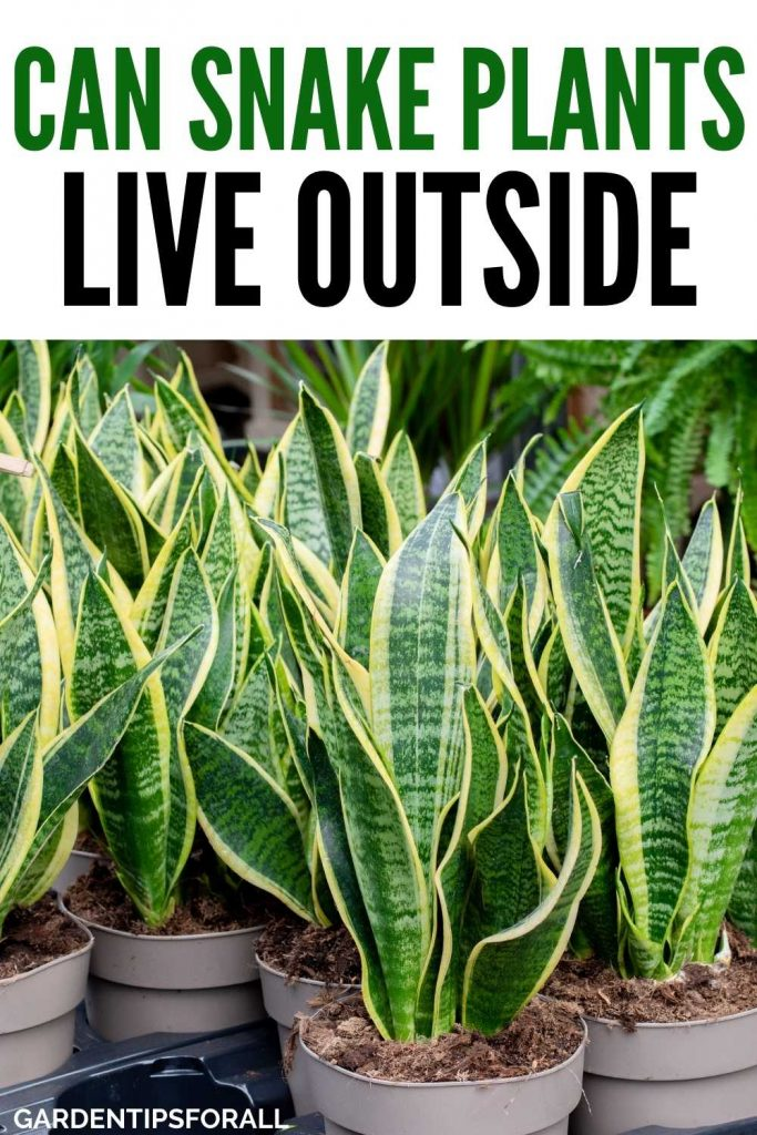 Snake plants - can they survive outside