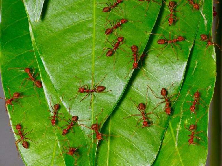 Does Neem Oil Kill Ants?
