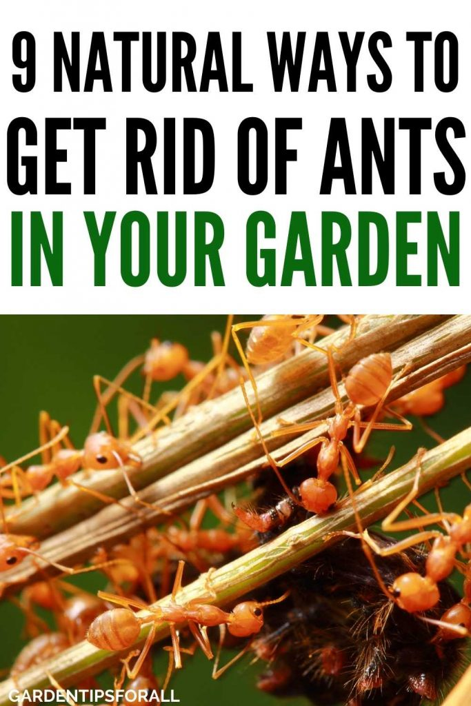 Natural ways to get rid of ants in your garden