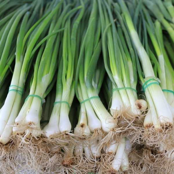 Green onions can grow in shallow containers