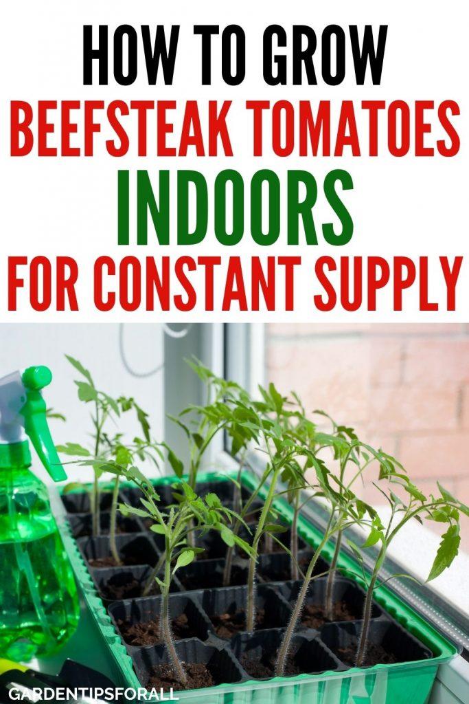 Growing beefsteak tomatoes indoors