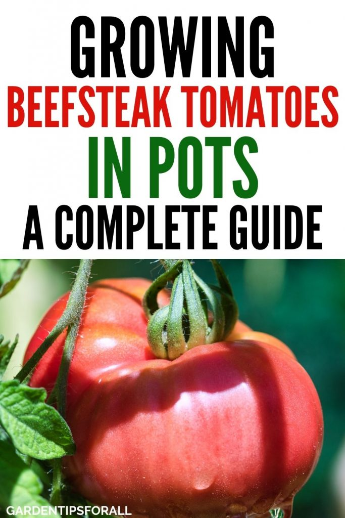 How to grow beefsteak tomatoes in pots