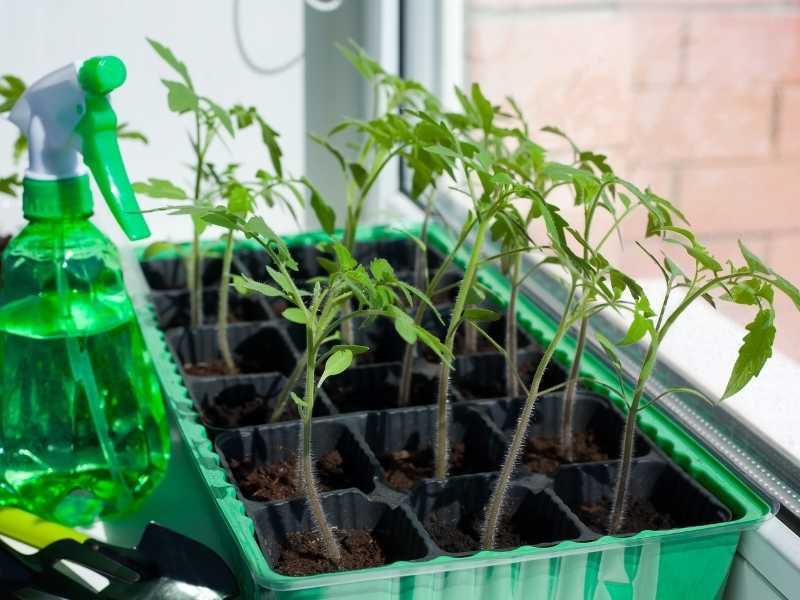 How to grow beefsteak tomatoes indoors