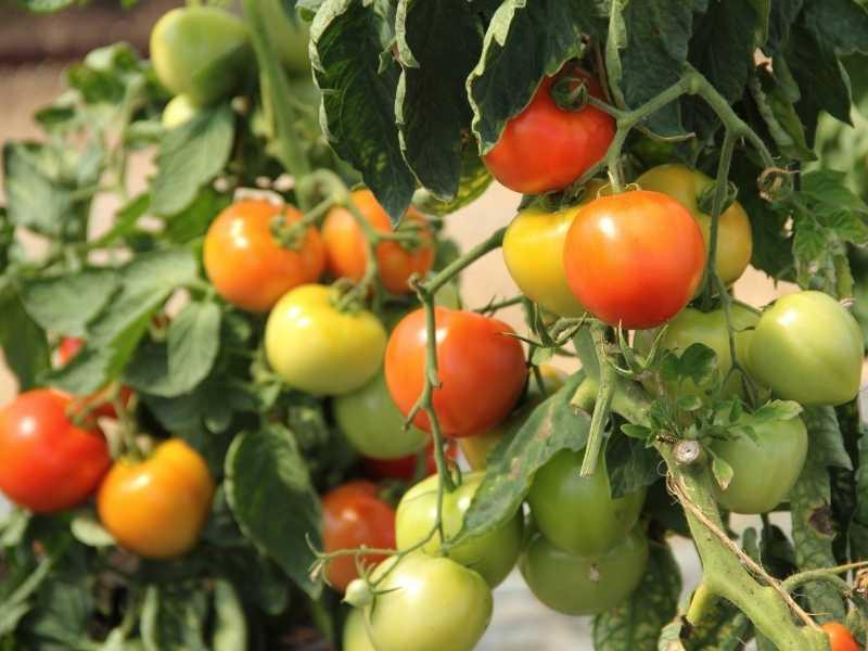 How long do tomato plants live