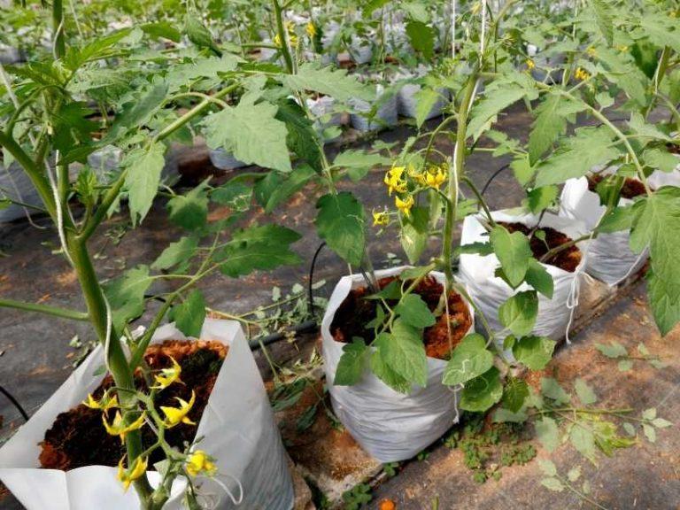 Growing Tomatoes in Grow Bags