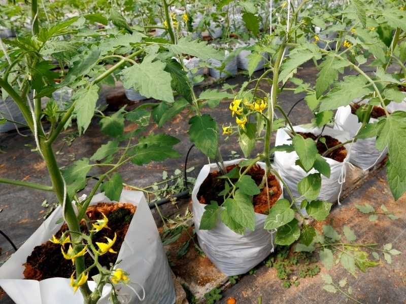 How to grow tomatoes in grow bags