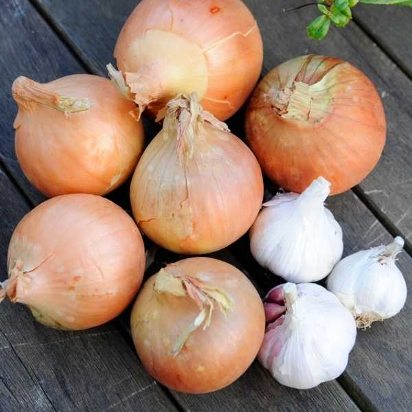 Onion and garlic are examples of a bulb