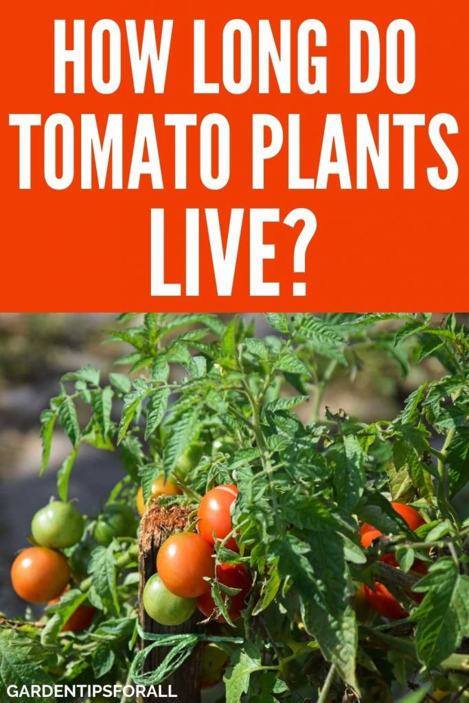 How long does a tomato plant live