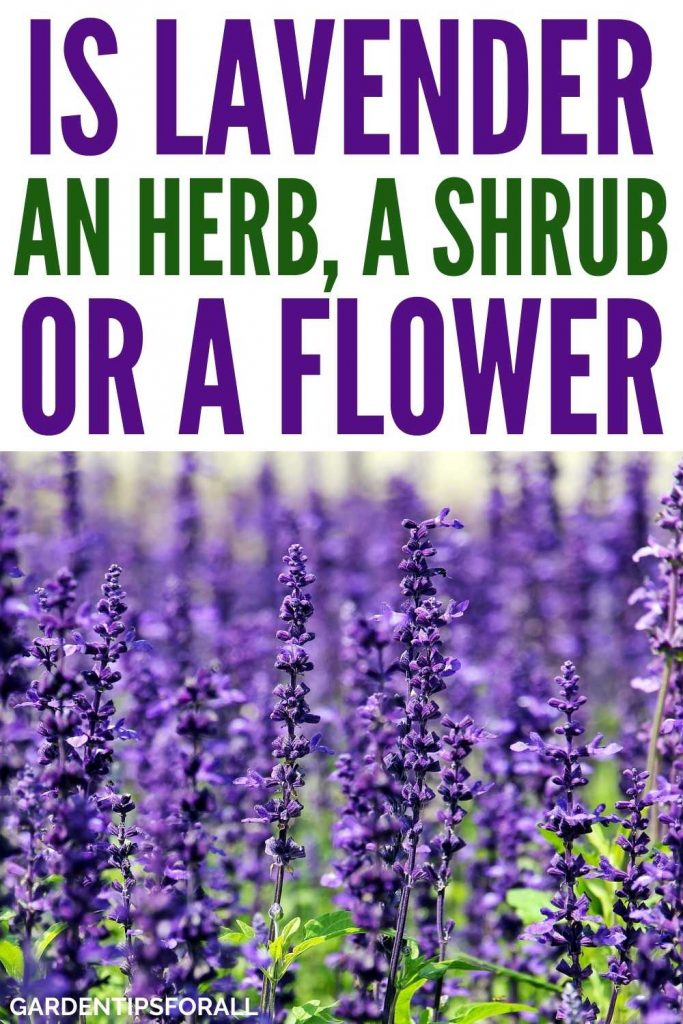 Is lavender an herb or a flower