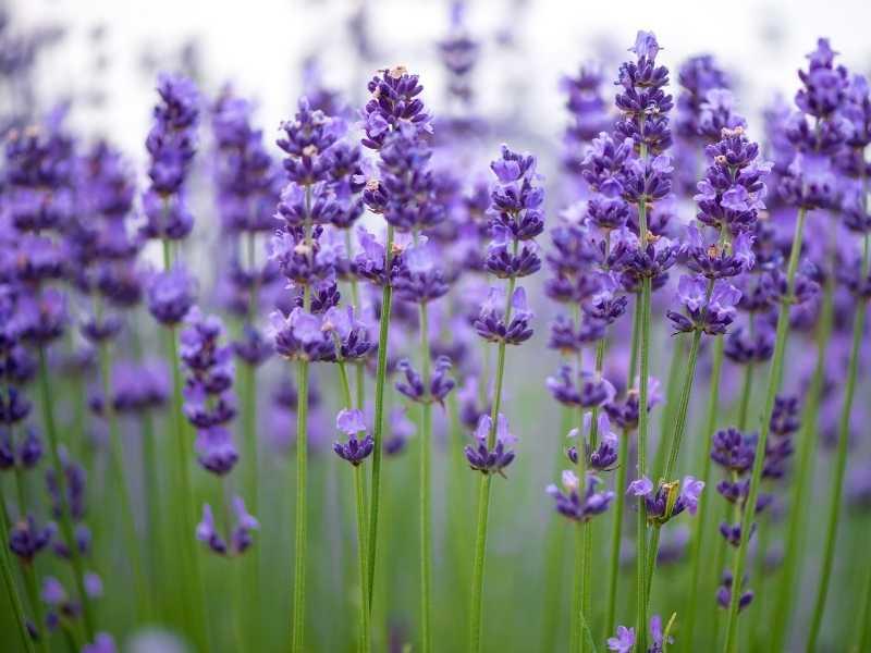 Is lavender an herb, a shrub or a flower