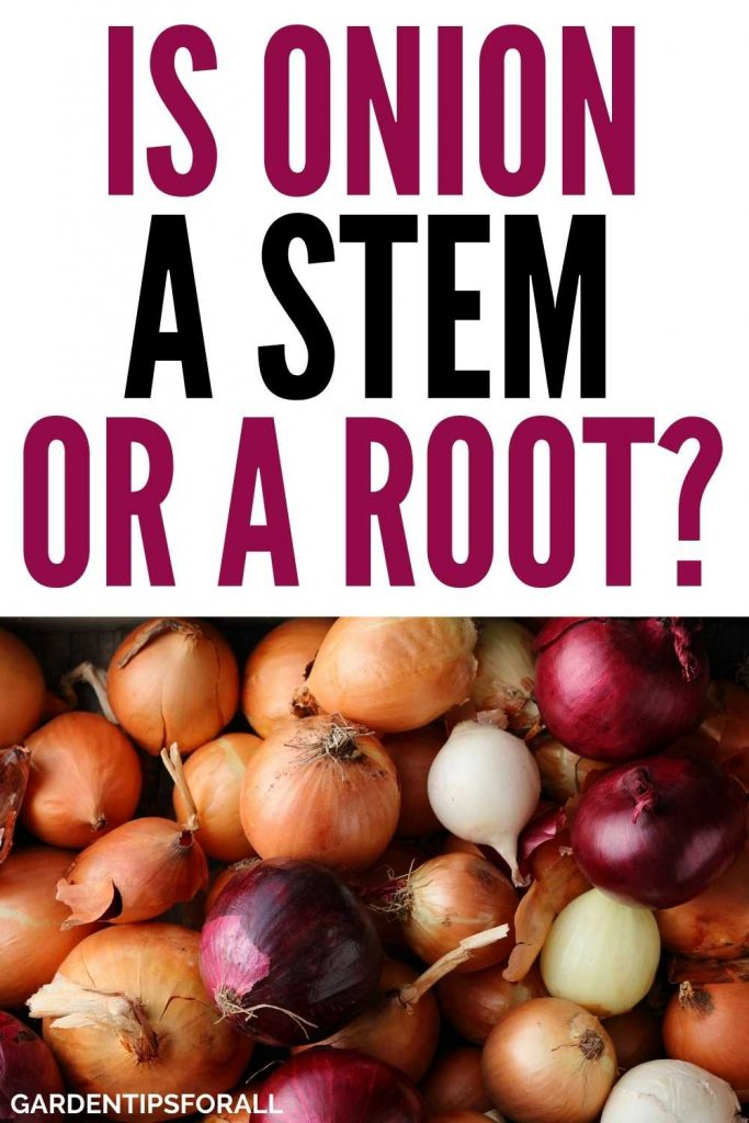 Is onion a root or a stem