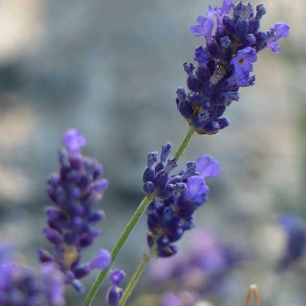 Portuguese lavender