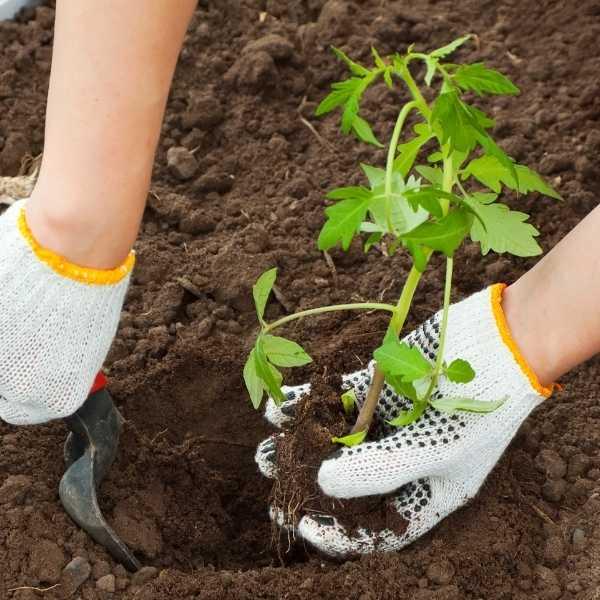 Transplanting tomato seedling
