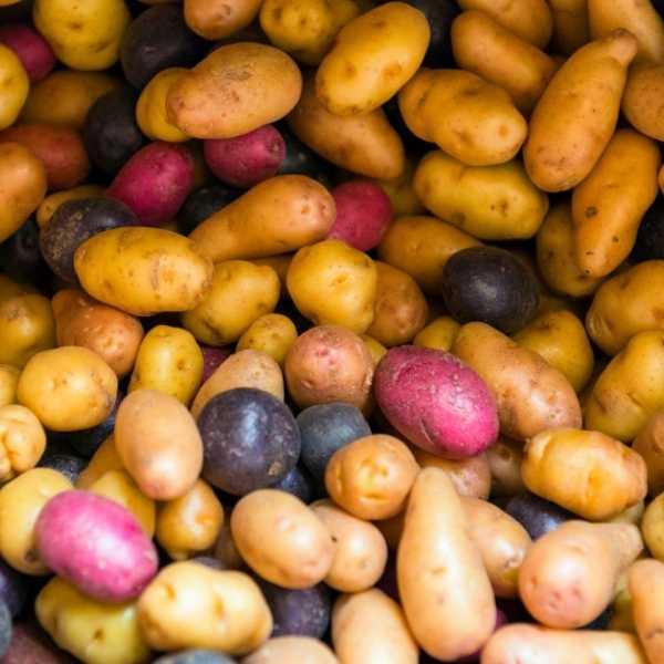 Potatoes are tubers