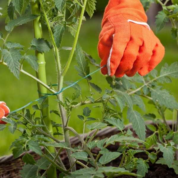 A gardener staking a growing tomato plant