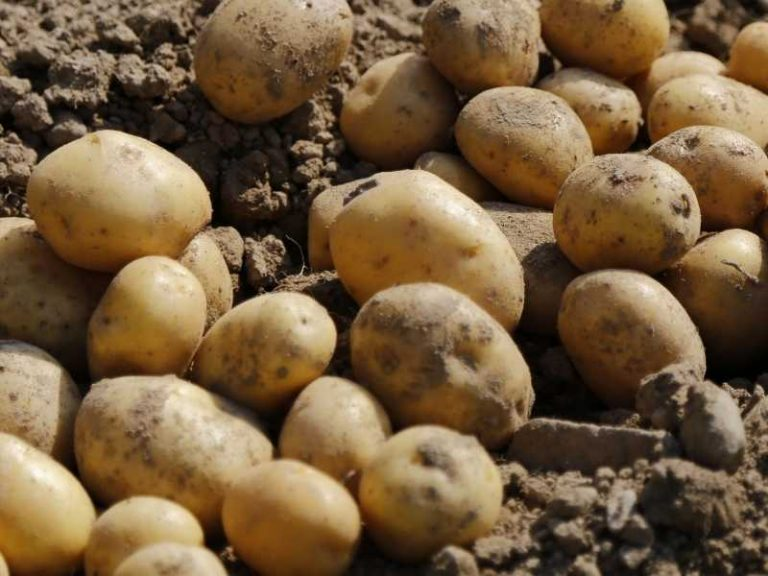 Is Potato a Root or a Stem?