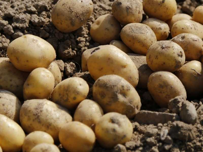 Is potato a root or a stem