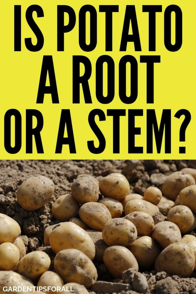 Is potato a stem or a root