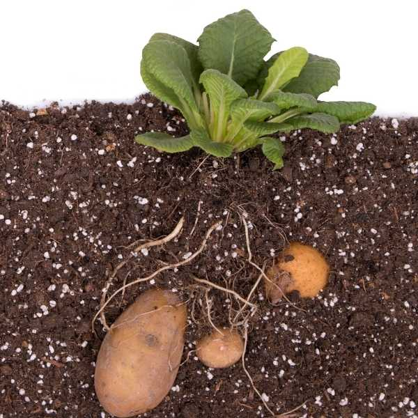 Potato tubers growing underground
