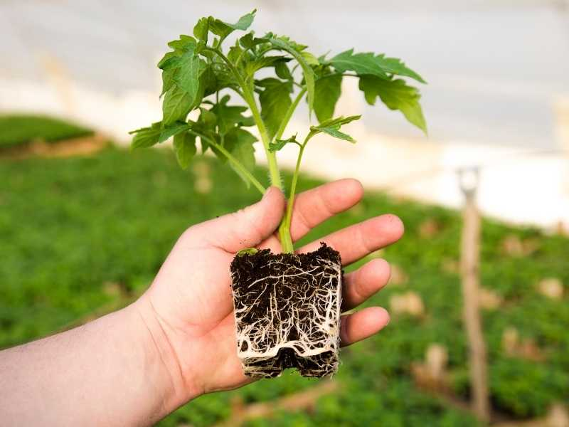 Root system of a tomato plant
