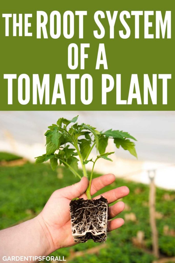 Root system of tomato plant