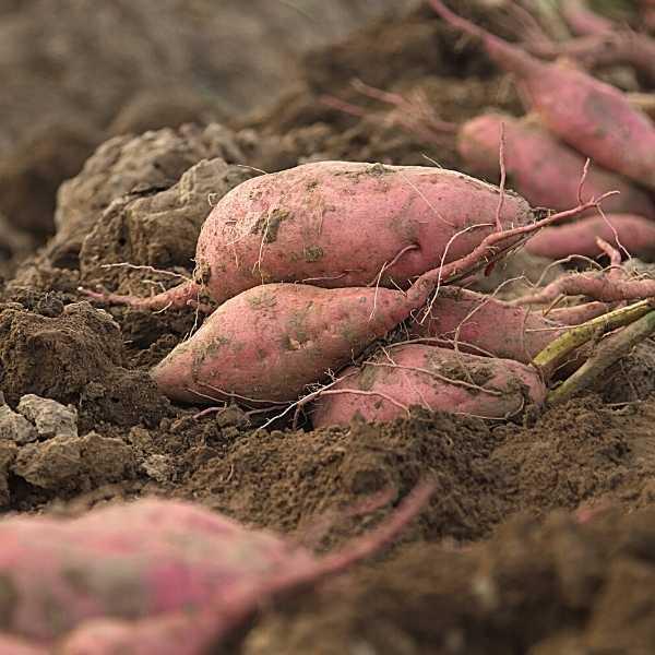 Sweet potatoes are root tubers