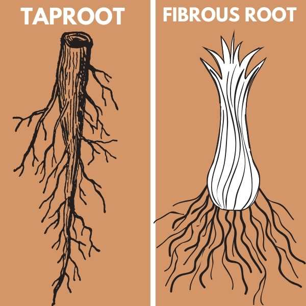 Taproot and fibrous root systems